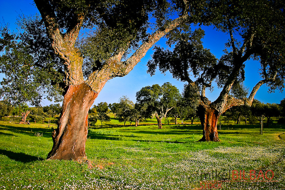 Cork oaks (Quercus suber) and grassland or dehesa.<br /> Monfrag&uuml;e National Park and UNESCO Biosphere Reserve. Caceres, Extremadura, Spain.
