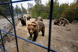ROMANIA ZARNESTI 25OCT12 - Eurasian brown bears gather for feeding time at the Zarnesti Bear Sanctuary in Romania, funded by WSPA......With over 160 acres (70 hectares) spread over a wooded hillside, it is Romania's first bear sanctuary and today houses 67 bears rescued from ramshackle zoos and cages at roadside restaurants......jre/Photo by Jiri Rezac / WSPA....© Jiri Rezac 2012