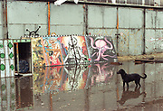 Dog walking through flood-water next to grafittied wall, dresden, Germany, 2000's,