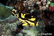 juvenile oriental sweetlips, Plectorhinchus vittatus, or Plectorhinchus orientalis, Helengeli, Maldives ( Indian Ocean )