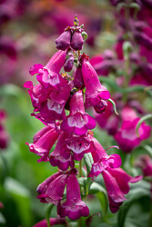 Penstemon F1 Arabesque 'Violet