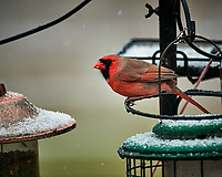 Male Northern Cardinal on a snowy day. Image taken with a Nikon D5 camera and 600 mm f/4 VRII lens (ISO 1600, 600 mm, f/4, 1/500 sec).