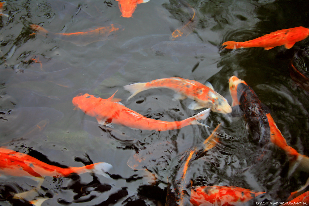 Koi in ponds on Oahu, Hawaii