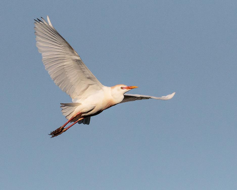 Bubulcus ibis, Smith Oaks Rookery, High Island Texas