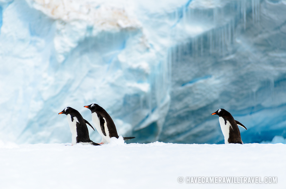 Three Gentoo penguins walk on a narrow ice shelf on the shoreline of Cuverville Island on the Antarctic Peninsula.