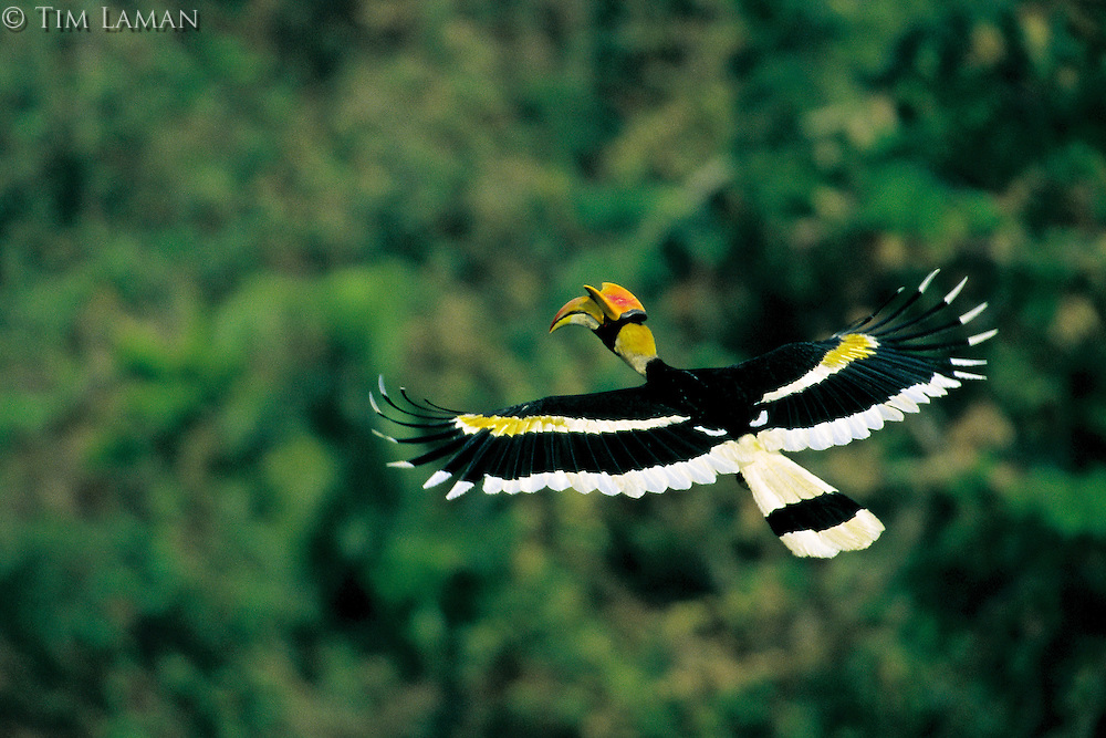 Great Hornbill (Buceros bicornis) male in flight.  Khao Yai N.P., Thailand...IUCN Red List: Near Threatened