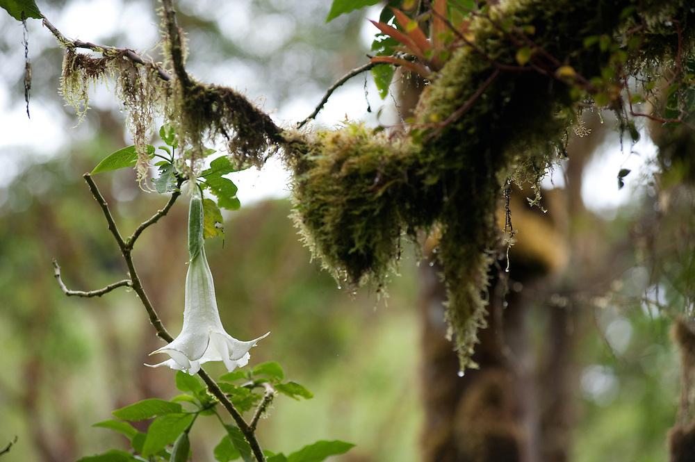 Datura, Cloud Forest, Chiriqui, Panama