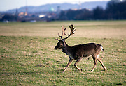 "Fallow Deer (Dama dama) stag running across the ""15 acres"" in the Phoenix Park, Dublin. There's been a herd here since the 17th century. They live completely wild elsewhere in Ireland, and were introduced by the Normans in the 12th century."