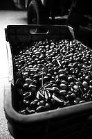 Acquaviva delle Fonti 30/10/2010, cassetta in plastica piena di olive all'interno di un magazzino....La raccolta delle olive e la produzione dell'olio extravergine sono un rituale che si protrae da moltissimo tempo in Puglia, questo avviene solitamente nel periodo che va da novembre a dicembre, mentre il lavoro di preparazione e coltivazione si svolge lungo tutto l'arco dell'anno..La raccolta è seguita nella maggior parte dei casi, quando le olive non vengono vendute all'ingrosso, dalla molitura presso gli oleifici per la produzione di quello che da queste parti viene chiamato anche oro verde..
