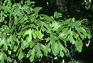 Sassafras Sassafras albidum (Lauraceae) HEIGHT to 20m <br /> Medium-sized, columnar, deciduous tree. BARK Thick, reddish-brown, furrowed and aromatic bark. BRANCHES With thin, green shoots, particularly evident after leaf-fall. LEAVES Mostly elliptic and untoothed, to 15cm long and 10cm across, but sometimes with large lobes on either side. Upper surface is bright green and lower surface is bluish-green; leaves turn through yellow and orange to purple in autumn. Crushed leaves have a pleasing smell and to some they taste of orange and vanilla. REPRODUCTIVE PARTS Male and female flowers are very small, greenish-yellow and without petals, growing in small clusters on separate plants and opening in the spring. Fruit is an ovoid berry, about 1cm long, ripening to a dark blue. STATUS AND DISTRIBUTION Common native tree of E North America, growing in woods and thickets, and used as a raw ingredient for root beer and tea. Seen in Britain and Ireland in arboreta and well-established gardens.
