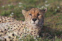 Cheetah at rest in evening light, Central Serengeti