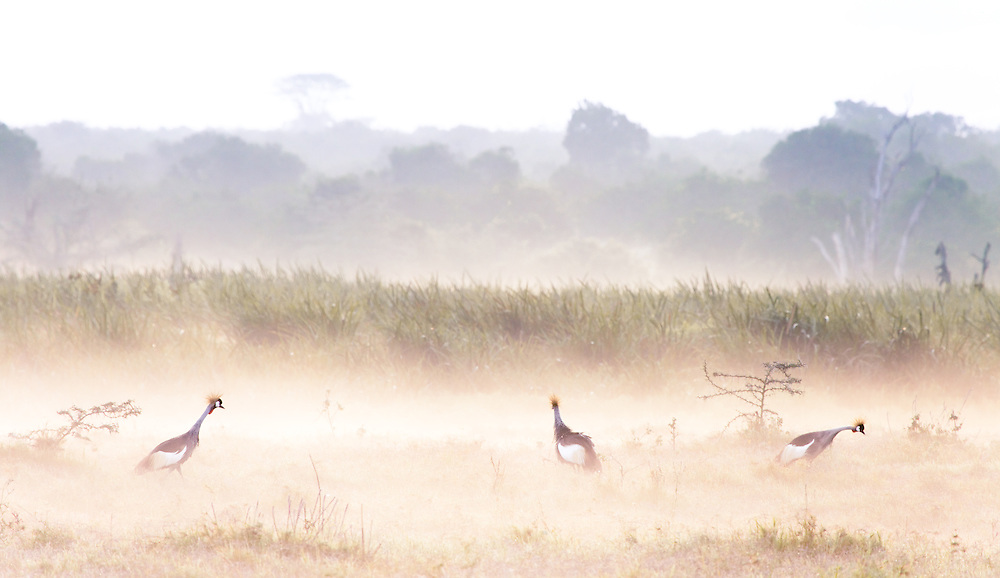 Three crested crane stands out on an ethereal misty morning in Solio, Kenya