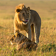 Licking it's lips, the lion was almost like a human expressing it's unquenched desire for hunt.