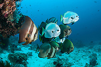 Batfish school at the bottom of a colorful reef slope<br /> <br /> Shot in Indonesia