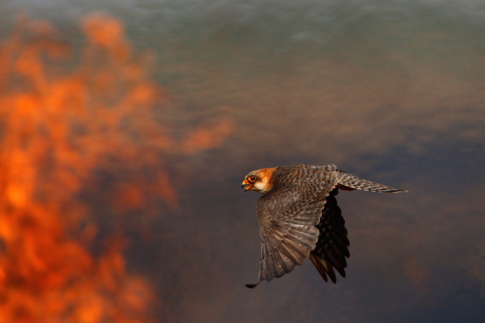 Female Red-footed Falcon hunting over burning steppe fields, Bagerova Steppe, Kerch Peninsula, Crimea, Ukraine
