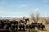 Cowboys, kids, dragging calves to the fire, branding, Lazy SR Ranch, Wilsall, Montana