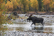 Bull Moose Crossing RIver