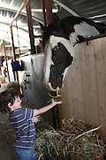 Young boy of four feeds a horse Model Release Available