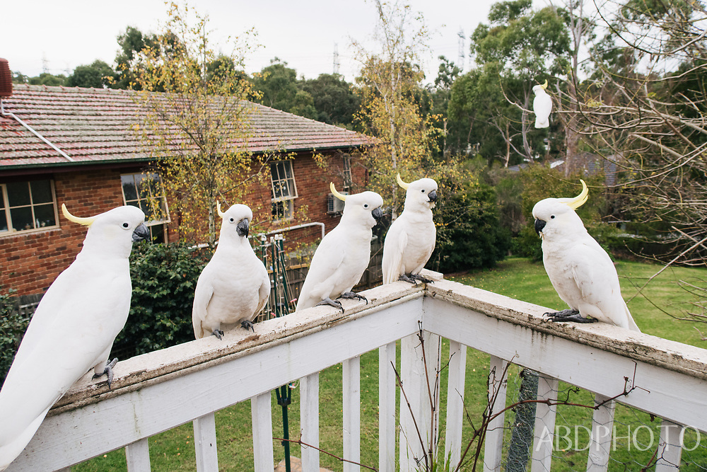 Melbourne Victoria Australia cockatoo birds in Doncaster East