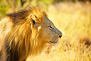 A profile of a male lion bathed in golden light, looking camera right.
