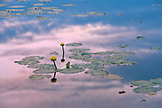 Yello water lilies in wetland at dusk<br />