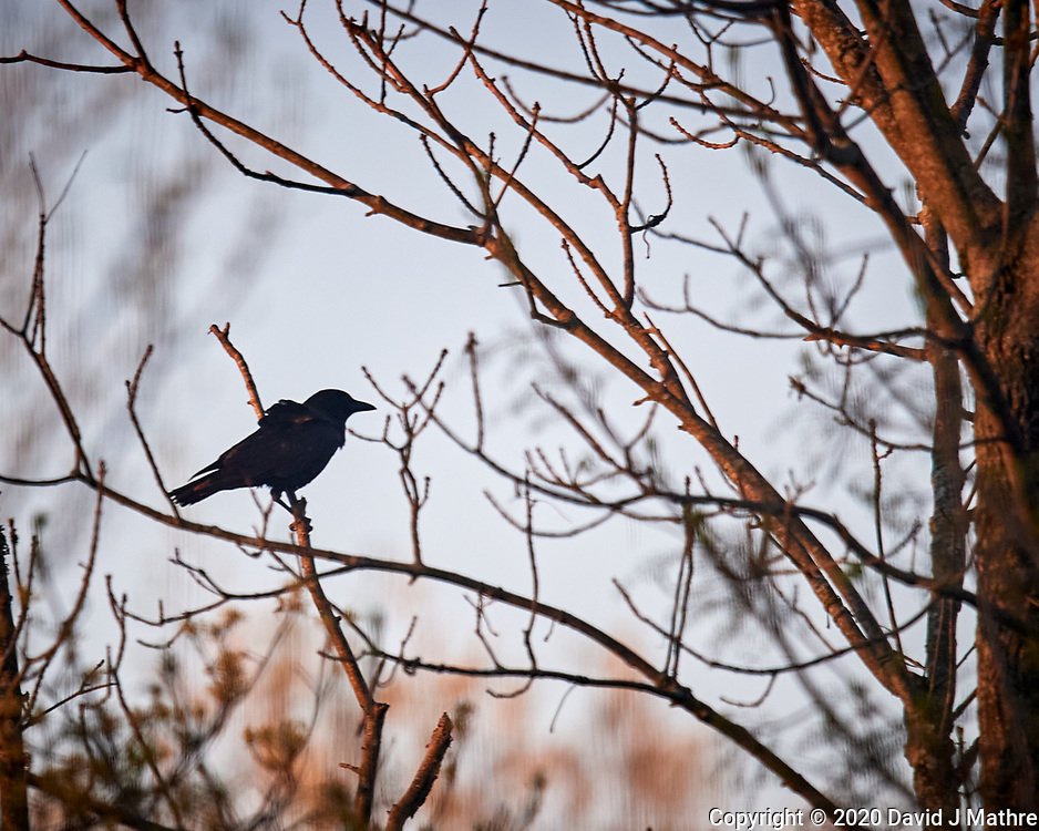 American Crow. Image taken with a Nikon D5 camera and 600 mm f/4 VR lens (ISO 800, 600 mm, f/4, 1/1250 sec)