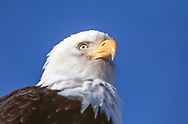 Bald eagle, head portrait from low angle with blue sky background, © 2000 David A. Ponton