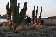 Passengers from Lindblad cruise ship hike at sunrise amid cardon cacti of Isla San Esteban; Sea of Cortez, Baja, Mexico.