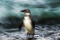 Juvenile African Penguin emerging from the sea, Bird Island, Algoa Bay, Eastern Cape, South Africa