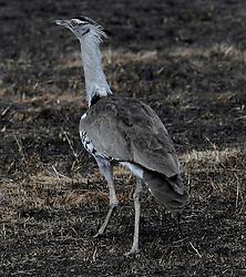 24-10-2008 REPORTAGE: KILIMANJARO CHALLENGE 2008: TANZANIA <br /> De dag van De Ngorongoro-krater, de grootste intakte caldera (ingestorte vulkaankegel) ter wereld. Hij bevindt zich ten noordwesten van Arusha in Tanzania / Wild, dieren, Natuur, vogels, Koritrap<br /> ©2008-FotoHoogendoorn.nl