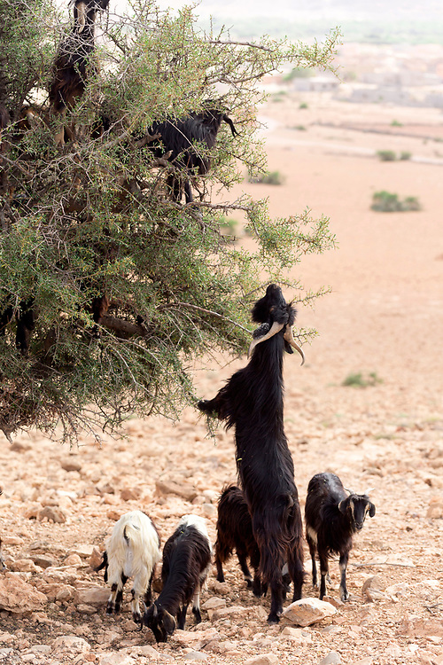 AOULOUZ, MOROCCO May 21st 2016 - Goats graze on argan trees growing amid arid terrain near Aoulouz, Taliouine & Taroudant Province, Souss Massa Draa region of Southern Morocco.