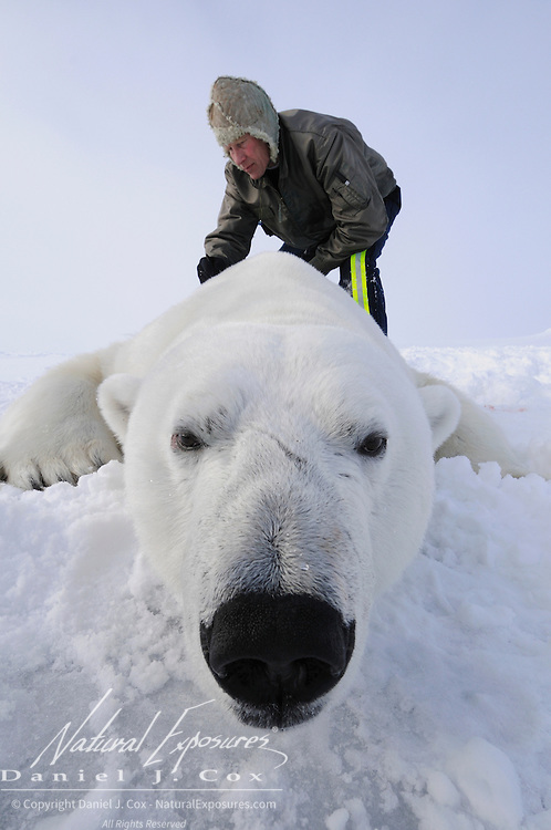 Dr Steven Amstrup collects data from a polar bear on the Beaufort Sea, Alaska.