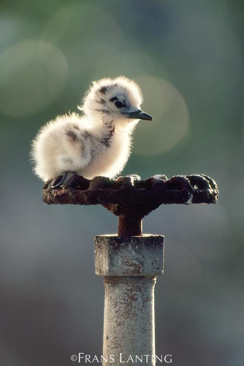 Fairy tern chick raised on water spigot, Gygis alba, Hawaiian Leeward Islands