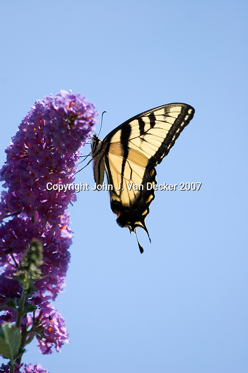 Eastern Tiger Swallowtail Butterfly, papilio glaucus, on Lilac flower