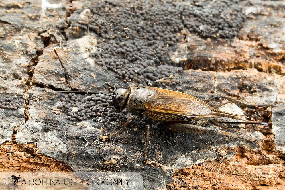 Field Cricket (Gryllus sp.) female<br /> ALABAMA: Tuscaloosa Co.<br /> Tulip Tree Springs off Echola Rd.; Elrod<br /> 25-April-2016<br /> J.C. Abbott #2803 &amp; K.K. Abbott