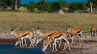 Springbok at a watering hole, Nxai Pan National Park, Botswana.