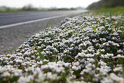 Danish Scurvy-Grass growing along the edge of a road in Kent. Cochlearia danica