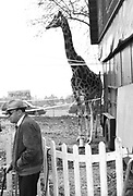 Old man with walking stick, standing next to a Giraffe behind fence, Bolonga,