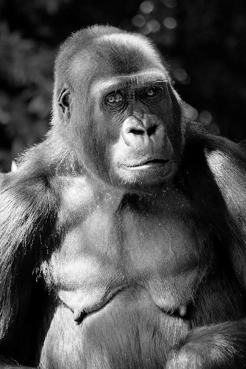 Black and white portrait of Mandara, a female western lowland gorilla (Gorilla gorilla), at the National Zoo, Washington, D.C.
