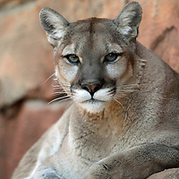 A Cougar, Puma concolor, watching from an outcrop. Turtleback Zoo, West orange, New Jersey, USA
