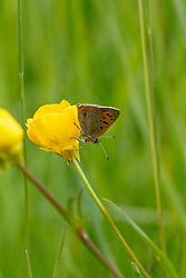 Kleine vuurvlinder, Lycaena phlaeas