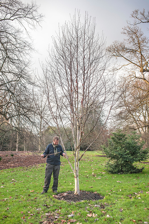 Tony Kirkham pruning Betula albosinensis (Chinese red birch)
