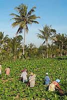 Indonesie. Lombok. Récolte du tabac avec le volcan Rinjani en fond. // Indonesia. Lombok. Harvesting tobacco.