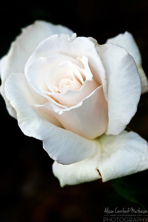 Rose Jour de Fete
