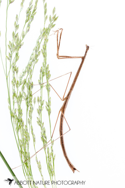 Grass-like Mantid (Thesprotia graminis)<br /> United States: Texas: Fayette Co.<br /> 7337 N FM 1291<br /> Fayetteville<br /> 8-Sep-2017<br /> J.C. Abbott #2982