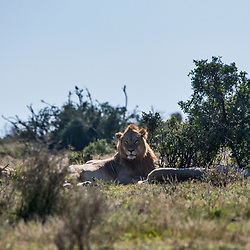 Leão (Panthera leo) fotografado na África do Sul. Registro feito em 2019.<br /> ⠀<br /> ⠀<br /> <br /> <br /> <br /> <br /> ENGLISH: Lion photographed in South Africa. Picture made in 2019.