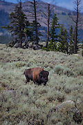 Bison, or American buffalo, near the Yellowstone River, between Tower Junction and Lamar Valley, Yellowstone National Park, Wyoming. There's around 3,700 bison the park, of the Plains Bison subspecies. Yellowstone may be the only place where bison have not been hunted out of existence, although the population plummeted due to poaching at the turn of the 20th century. The population is still under threat - when they roam outside the park boundaries, and from claims that they transmit disease such as bas brucellosis to cattle.