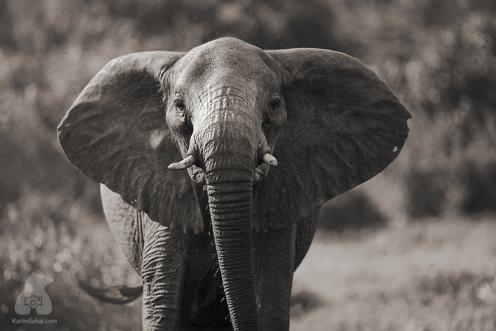 Face to face with an elephant, Masai Mara, Kenya.