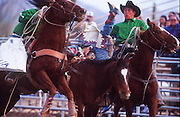 24 NOVEMBER 2001 - APACHE JUNCTION, ARIZONA, USA: Pickup men scoop a bareback rider off of his mount during the bronc riding at the 2001 Superstition Mountain Stampede in Apache Junction, AZ, Nov 24, 2001. The rodeo is a fundraiser for charities in Apache Junction, which is about 40 miles from Phoenix. .PHOTO BY JACK KURTZ