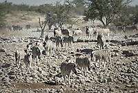 Common Zebra at the Okaukuejo Waterhole in Etosha National Park, Namibia